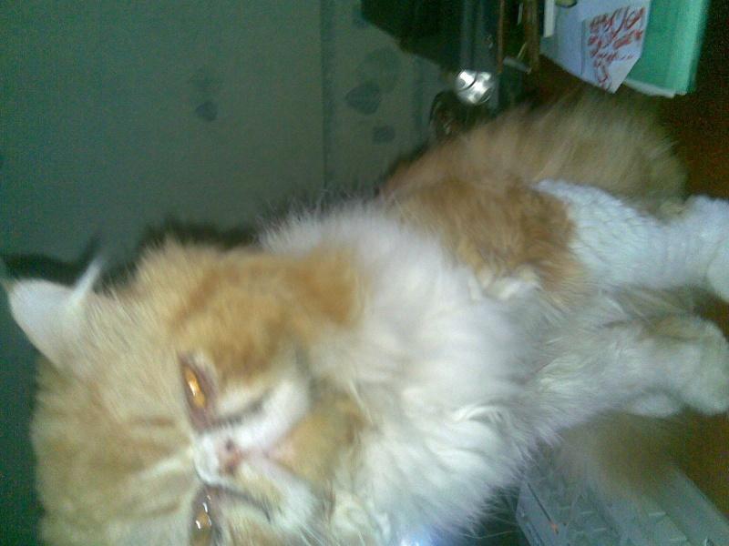URGENT   Apollon , persan roux et blanc de trois ans FIV+ Photo_47