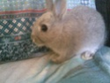 Une FA pour pimprennelle (lapine) svp 28052012