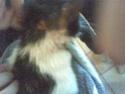 Mélynda, 1.5an noire et blanche, taillader au rasoir Photo_66