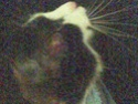 Mélynda, 1.5an noire et blanche, taillader au rasoir Photo_67