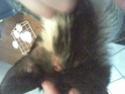 Mélynda, 1.5an noire et blanche, taillader au rasoir Photo_69