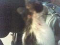 Mélynda, 1.5an noire et blanche, taillader au rasoir Photo_70