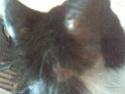 Mélynda, 1.5an noire et blanche, taillader au rasoir Photo_73