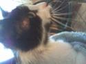 Mélynda, 1.5an noire et blanche, taillader au rasoir Photo_75
