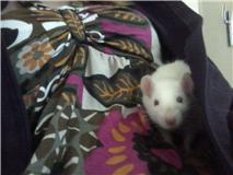 4 ratous du sauvetage des 34 rats Thao_210