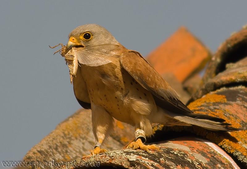 Falconiformes. sub Falconidae - sub fam Falconinae - gênero Falco - Página 2 Img_1110