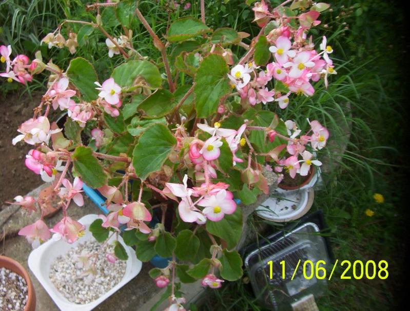 begonia Photo161