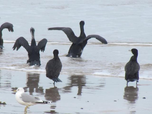 Grand cormoran 1029