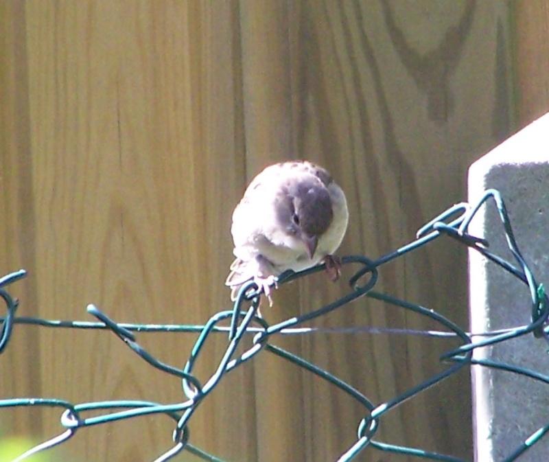 maud  et ses oiseaux 117