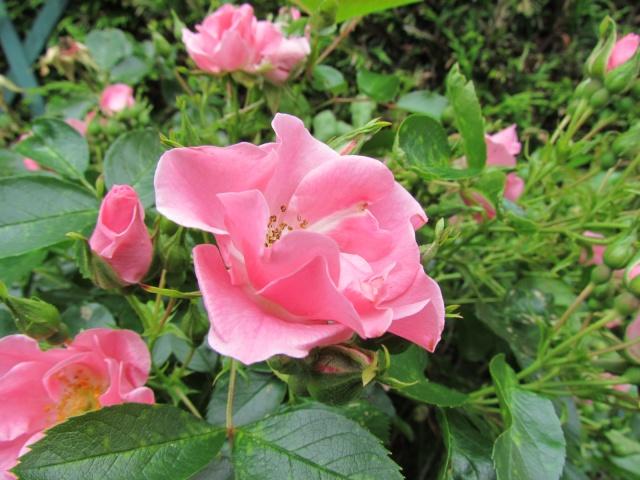 toutes les fleurs de couleur roses et rouges - Page 2 363