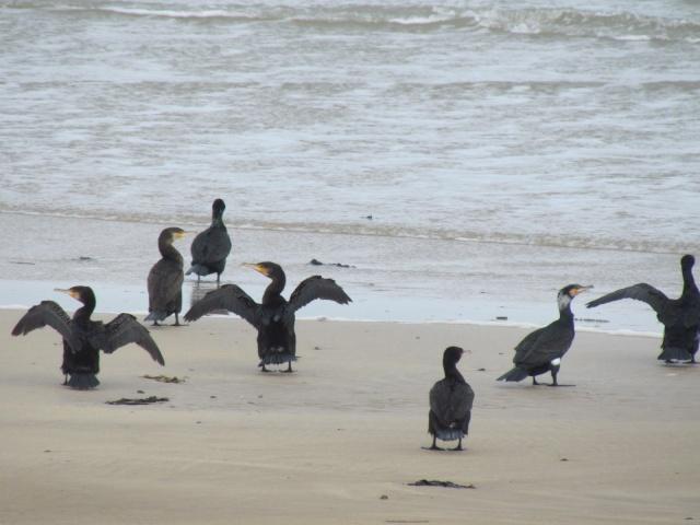 Grand cormoran 545