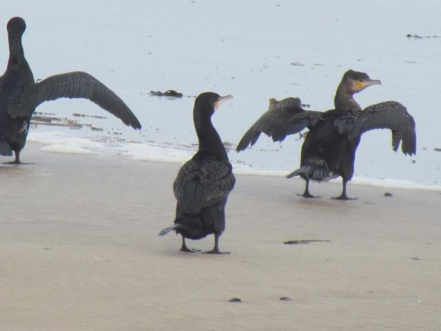 Grand cormoran 835