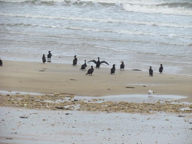 Grand cormoran 930