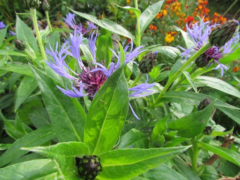 toutes les fleurs de couleur violette, bleue,  942