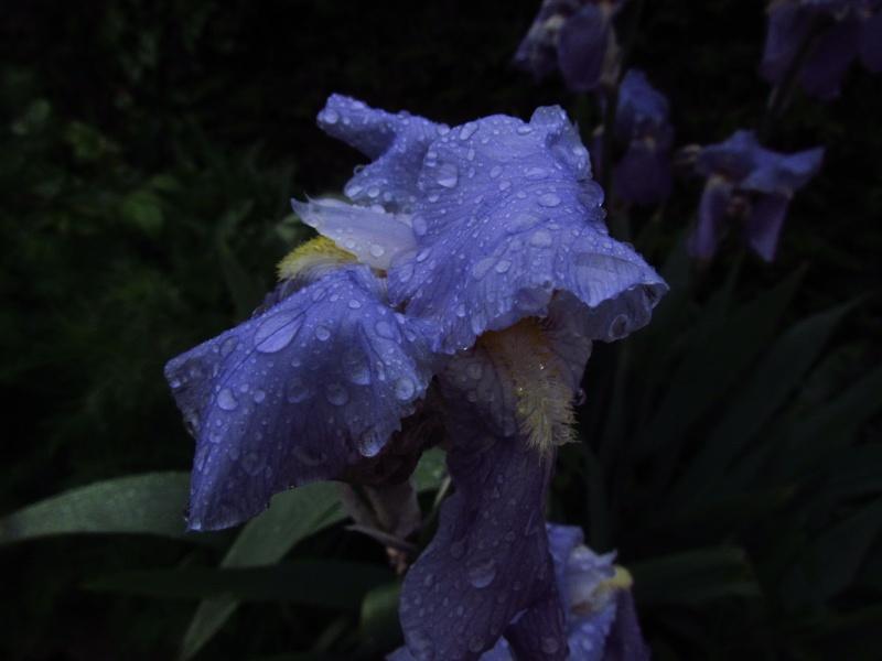 toutes les fleurs de couleur violette, bleue,  - Page 2 Img_0030