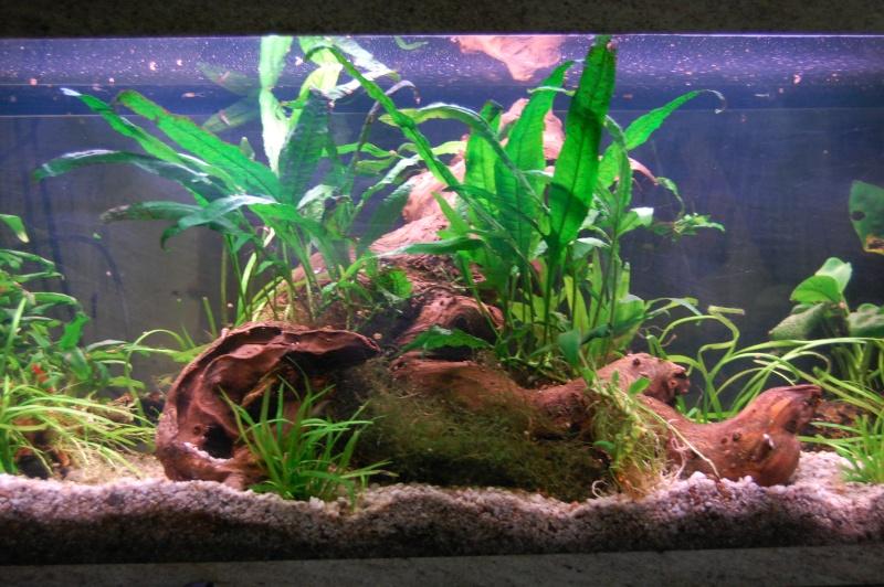 mes aquarium en partie (1) Dsc_2711