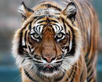 Sauvez les derniers tigres sauvages de l'extinction ! 13042310