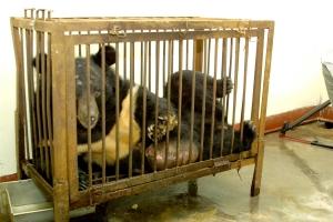 STOP aux fermes d'ours, élevés pour leur bile Carony10