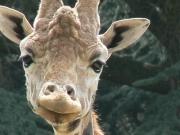 Pour Sandar, girafe laissée a souffrir et mourir lors d'un transfert d'un zoo a un autre Girafe10
