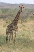 Pour Sandar, girafe laissée a souffrir et mourir lors d'un transfert d'un zoo a un autre Girafe11