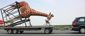 Contre le zoo d'Alipore qui a tué une girafe lors d'un transport Girafe13