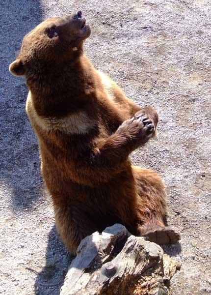 NON aux armes à feu chargées dans les parcs nationaux (USA) Grizzl10
