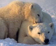 Les ours blancs ont besoin d'aide réelle, pas d'une liste vide !! Pol10