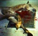 Contre le transport et l'abattage des chevaux américains a l'étranger Usa211