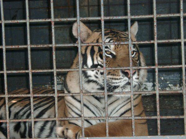 Pour interdire le cirque Vasquez a Denver, (18-26/06/08) Tigre-10