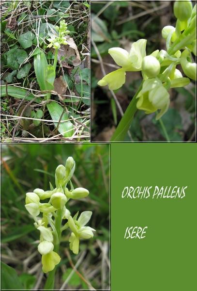 Orchis pallens ( Orchis pâle ) Orchis11