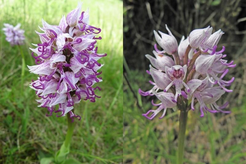 orchis simia ( Orchis singe ) Singe_10