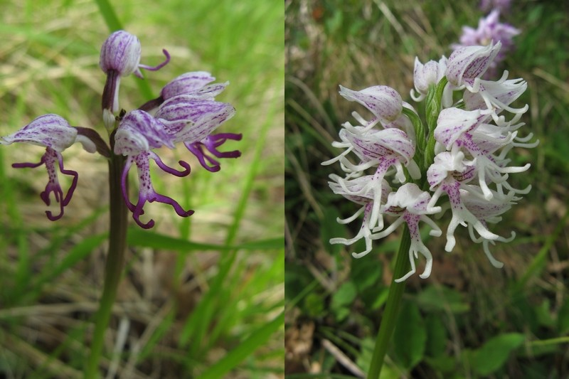 orchis simia ( Orchis singe ) Singe_11