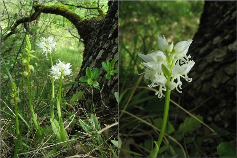 orchis simia ( Orchis singe ) Singe_12
