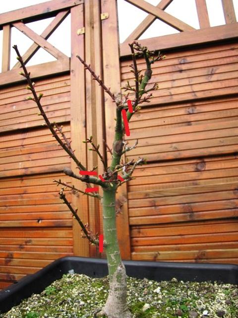 plant acer shishigashira pour formation en bonsai - Page 5 Img_4010
