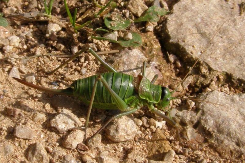 4 oct 2008 : un ordre d'insectes ? Ephipp10