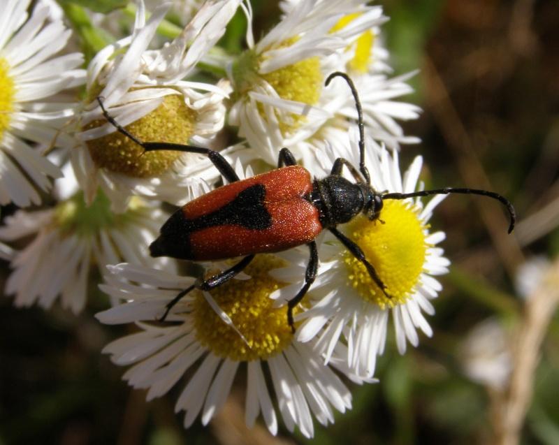 4 oct 2008 : un ordre d'insectes ? Leptur10