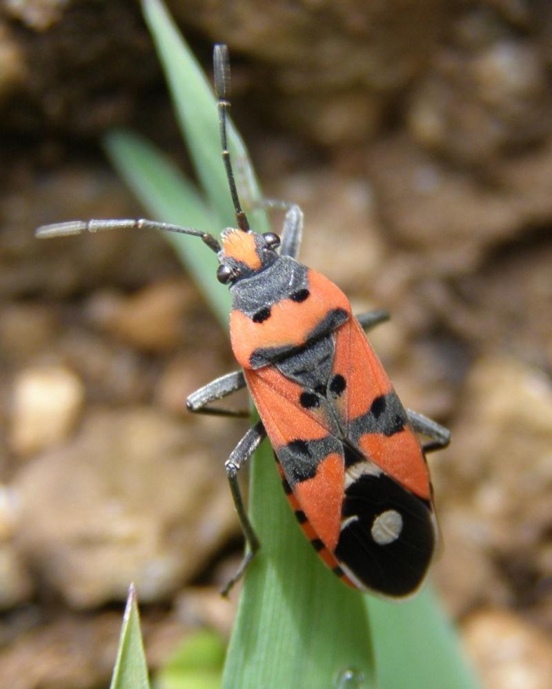 4 oct 2008 : un ordre d'insectes ? Lygaeu10