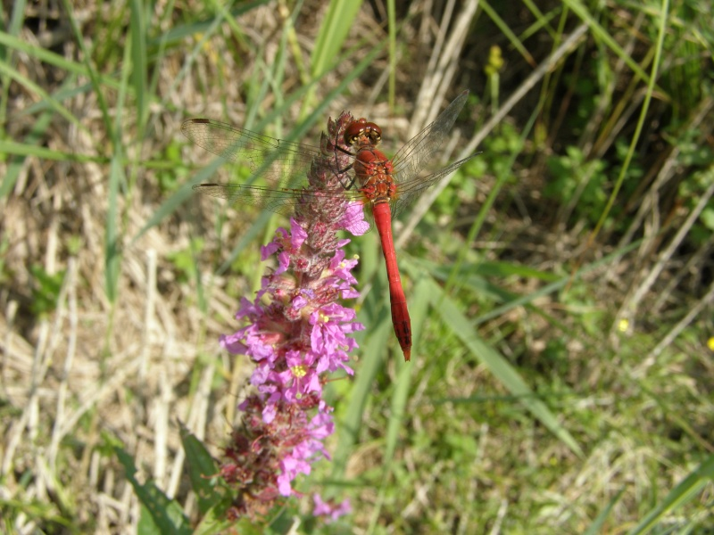 4 oct 2008 : un ordre d'insectes ? Sympet11