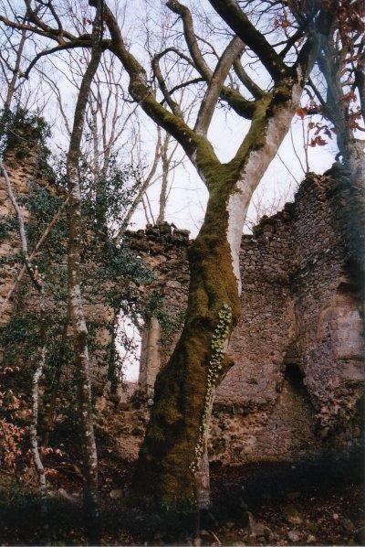 hêtre des Battées - Morvan Hetre_15