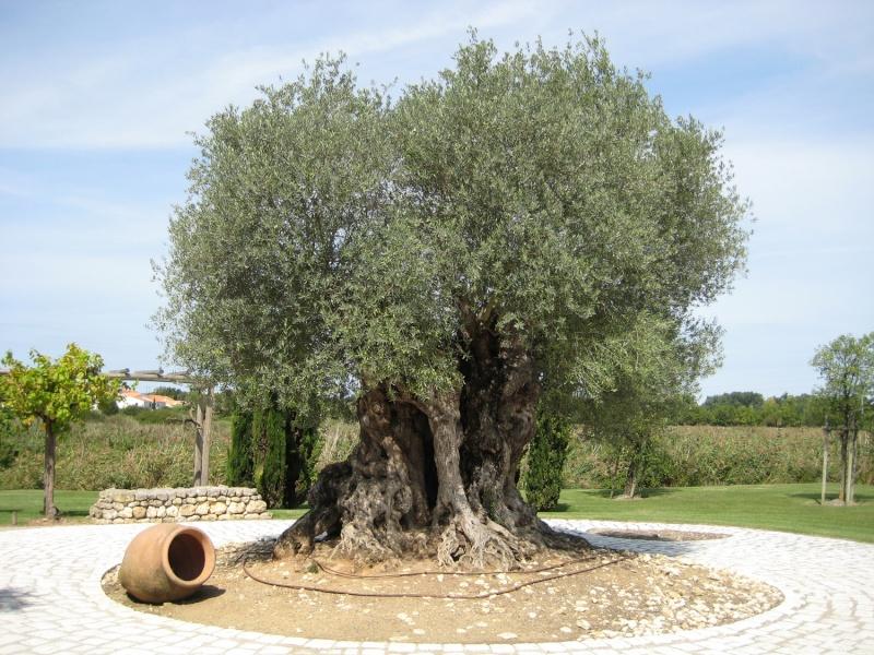 l'olivier millénaire, Calig Olivie10