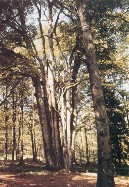 """La cépée de Hêtre """"Les Onzes Frères"""" de la Forêt d'Andaine (61) Onze_f10"""