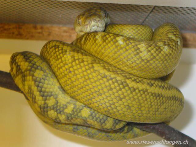 Scrub python ( Morelia amethystina) Moreli10