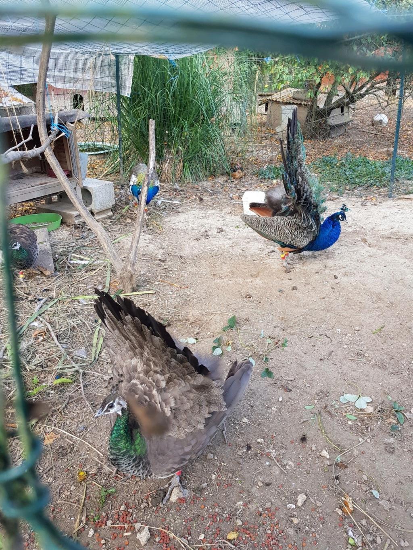 nidification, ponte & élevage des paonneaux 20181011