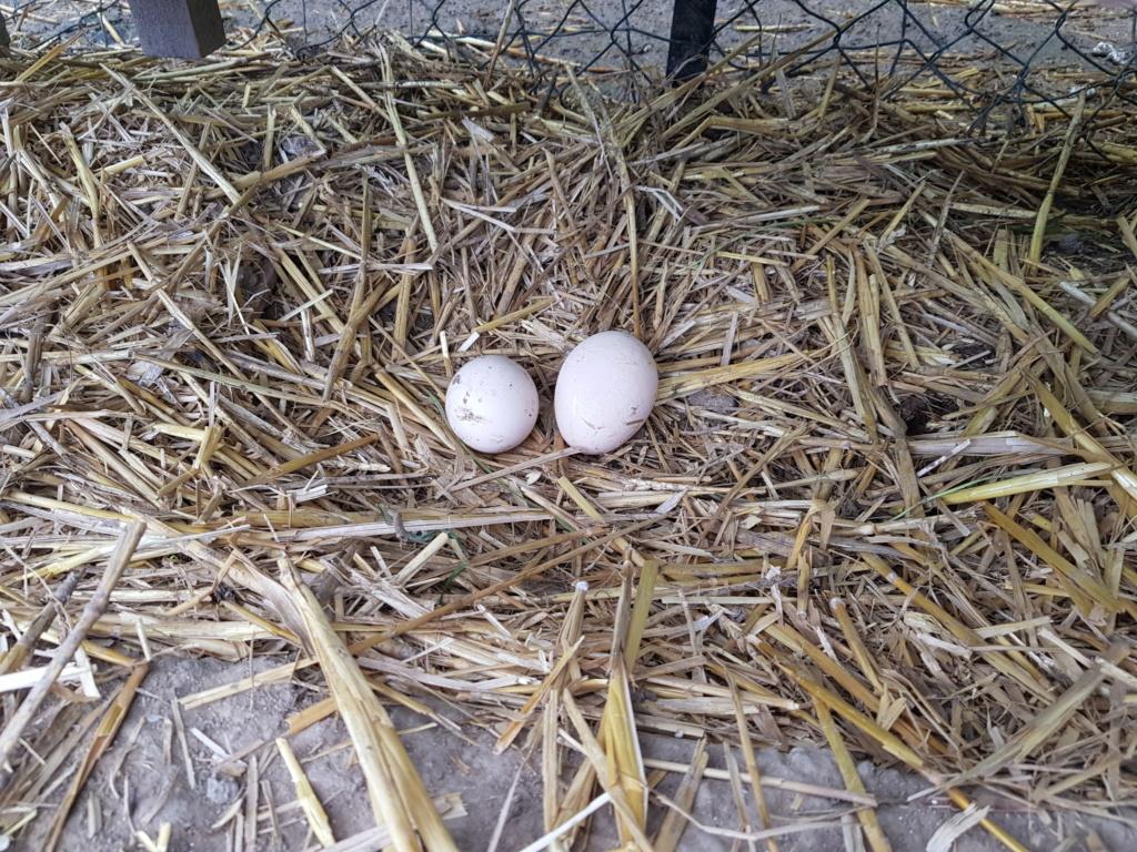 nidification, ponte & élevage des paonneaux 20190510
