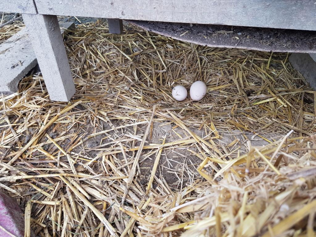 nidification, ponte & élevage des paonneaux 20190511