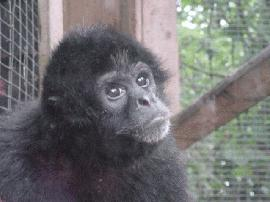 Primates en péril !!! Atelef10