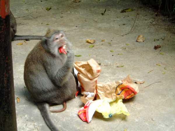 La planète des singes n'est plus une fiction Baboui11