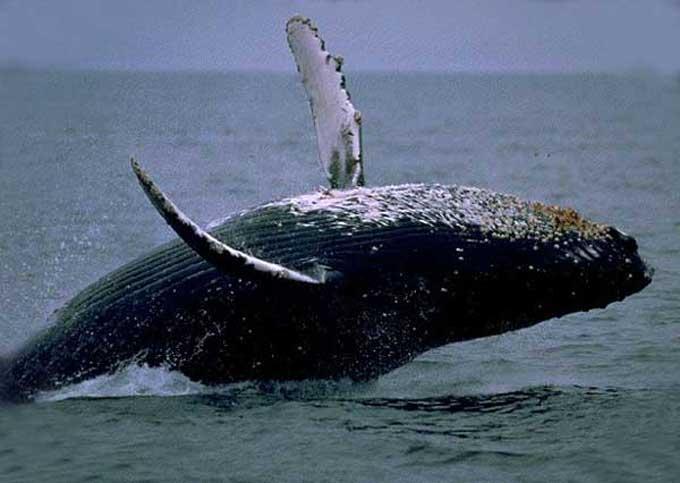 La Baleine Balein16