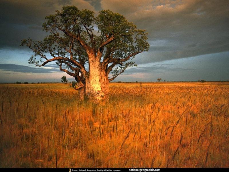 Merveilles de la nature. Baobab10