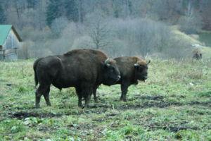 Le Bison. Bison_10